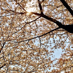 #lookingup into the #sakura (and the #sun)