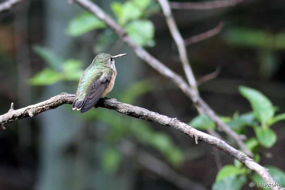 Calliope-Hummingbird-041014-3