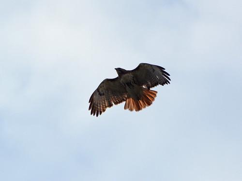 CCNY Hawk (0671)