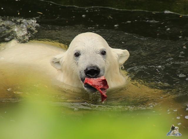 Eisbär Fiete im Zoo Rostock 11.07.2015  0137