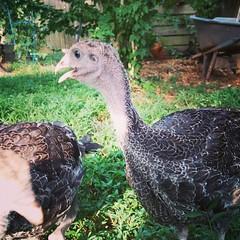 Free-range turkey time!!!