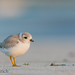 Juvenile piping plover by Pat Ulrich