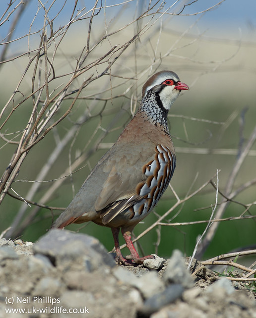 red legged partridge-4