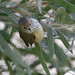 Brown Thornbill by Greg Miles