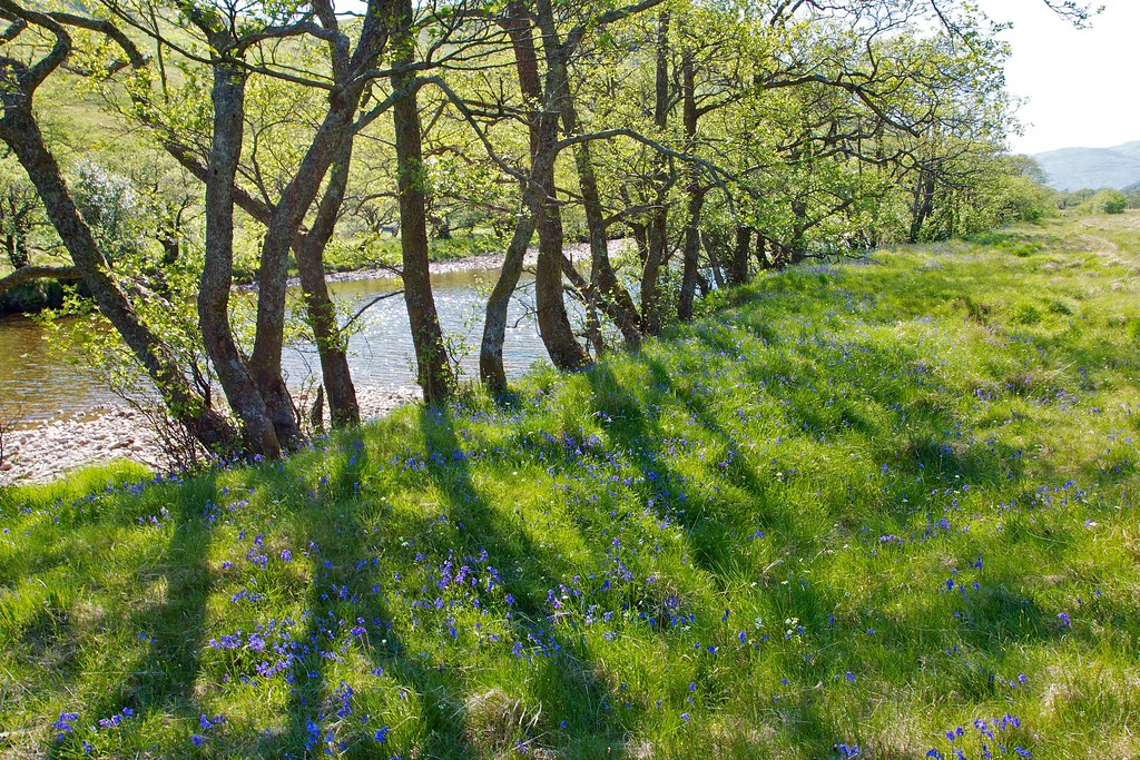 Bluebells by the River Kinglass