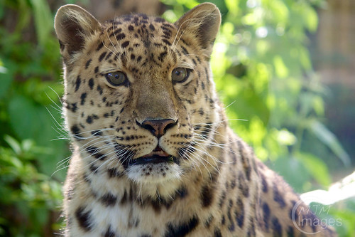 Kaia the Amur Leopard waits for lunch