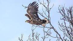 Harald Enge - The Eagle