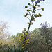 Small photo of Agave atrovirens, the Maguey del Montana