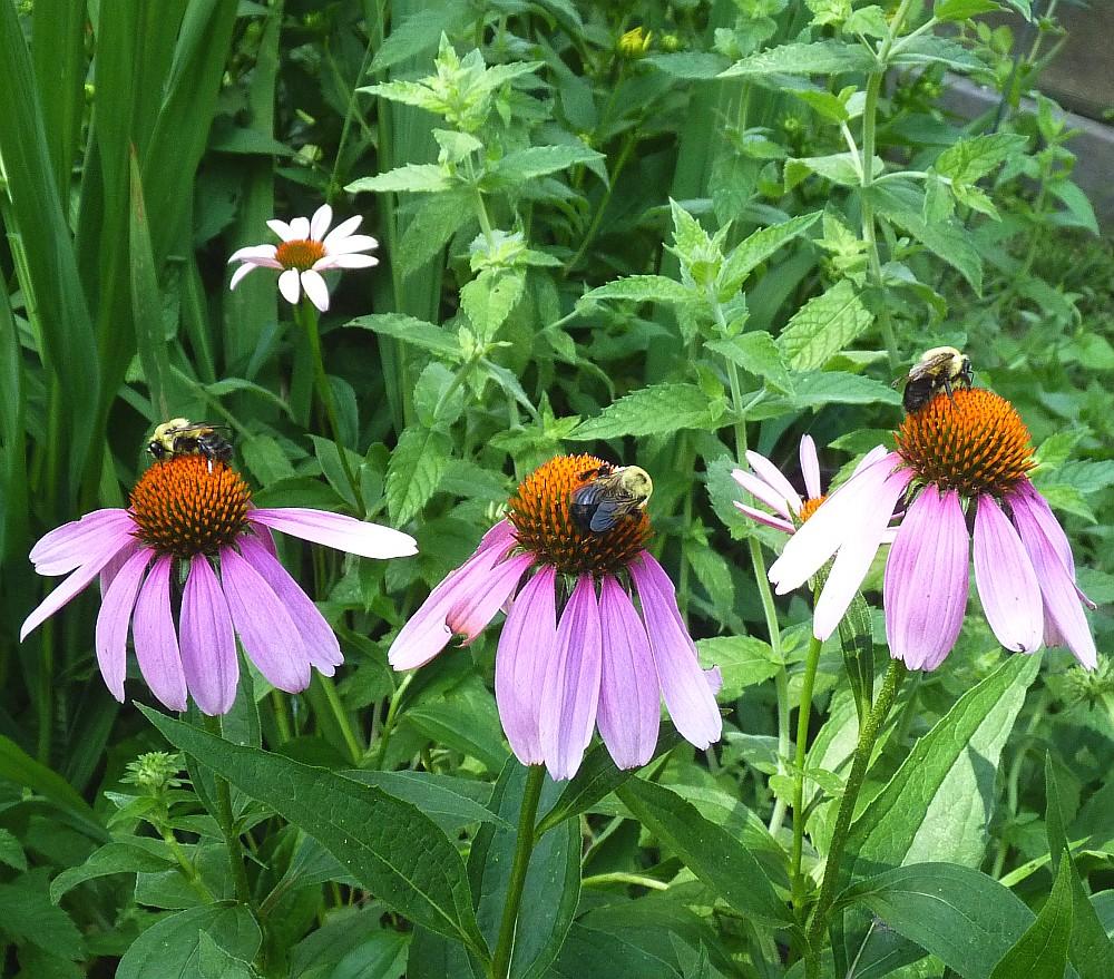 Bumble Bees Echinacea