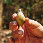 śliwka kakadu źródło witaminy C