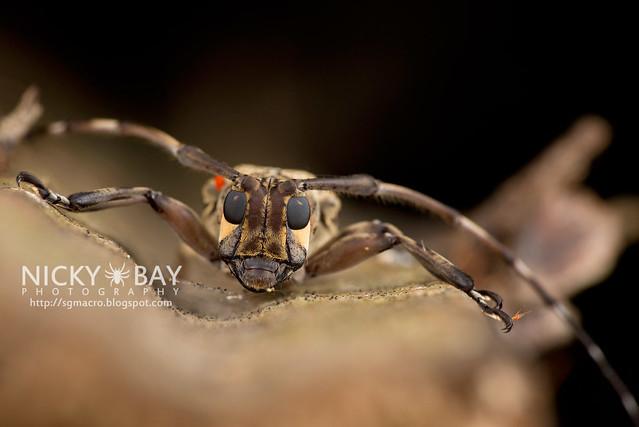 Longhorn Beetle (Cerambycidae) - DSC_1454
