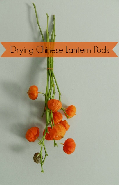 how to dry chinese lantern pods