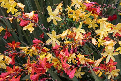 Crocosmia Solfatare and Severn Seas