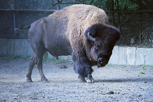 Bison Charging Bison Charge!   Flickr...