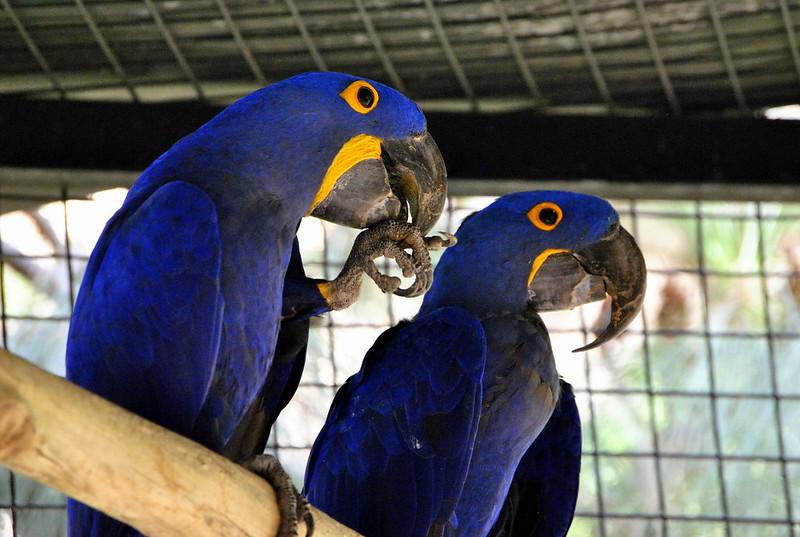bluebirds