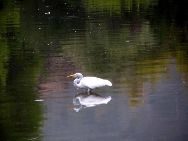 egret at the lake