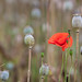 Poppy weed in Poppy Harvest by Pixelda