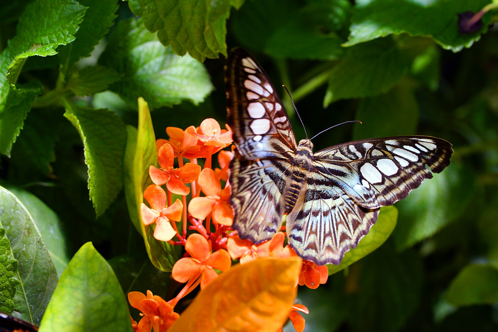美洲蛺蝶 Parthenos sylvia-2