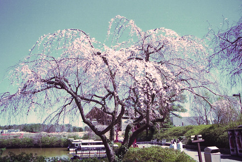 Weeping Cherry Tree by bahayla