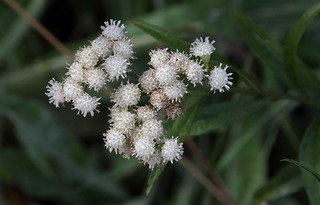 Marsh Baccharis - Baccharis glutinosa