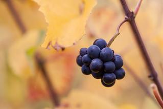 Forgotten grape between autumn leaves