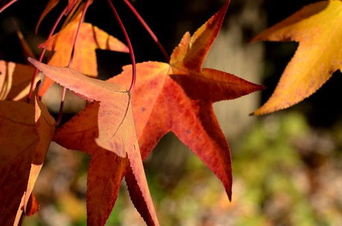 autumn red fall colors leaves colorful vivid reds sweetgum mygearandme jennypansing