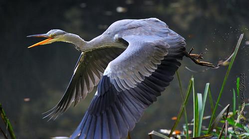 ireland heron nature birds nikon wildlife ramparts nikkor boyne nov13 navan meath 2013 d700 70200vrii perfectstillscom aubreymartin