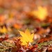 fallen leaves by snowshoe hare