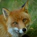 Red Fox (Explored) by Rhona J