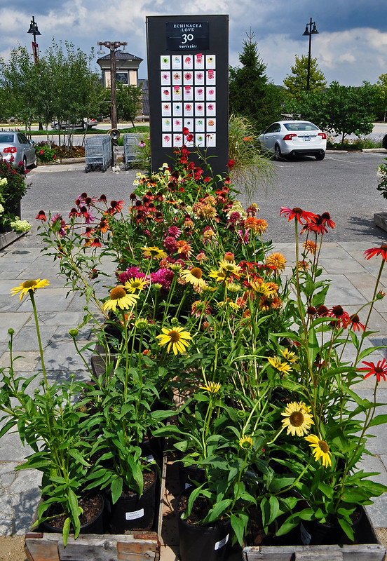 Echinacea Display (2)