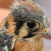 Small photo of American Kestrel