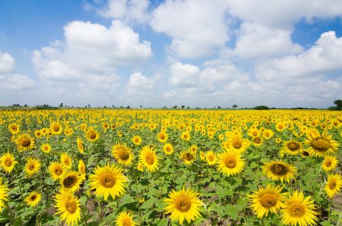 india field farm sunflower karnataka hampi badami sigma1750mm tokina1116mmf28 sigma1750mmf28 tokina11mm16mmf28 nikond7000 souvikbhattacharya
