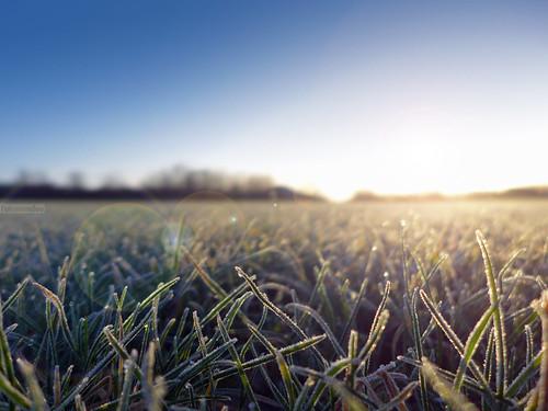 morning sun sol mañana grass wales frost bokeh gales cesped lx7 pontprennau lumixlx7 panasoniclumixlx7