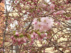 Cherry blossom on trees - Oozells Square, Brindley Place