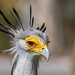 Those Eyelashes Have Got to Be Fake - Immature Secretary Bird - San Diego Zoo by SARhounds