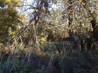 Matorrales del río Tajo a la altura de Torrique