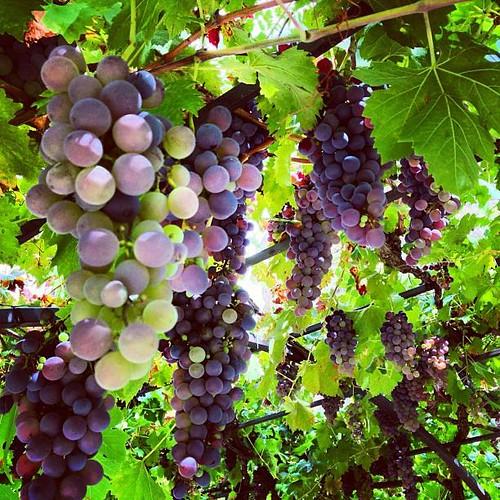 Uvas de Alicante, Alifornia-Alicante.