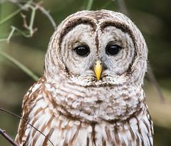 Barred Owl - Bog Garden, Greensboro, NC (Explored)