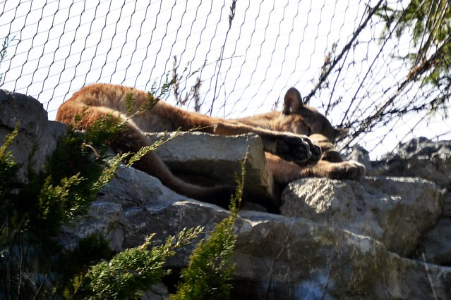 Snoozing Puma