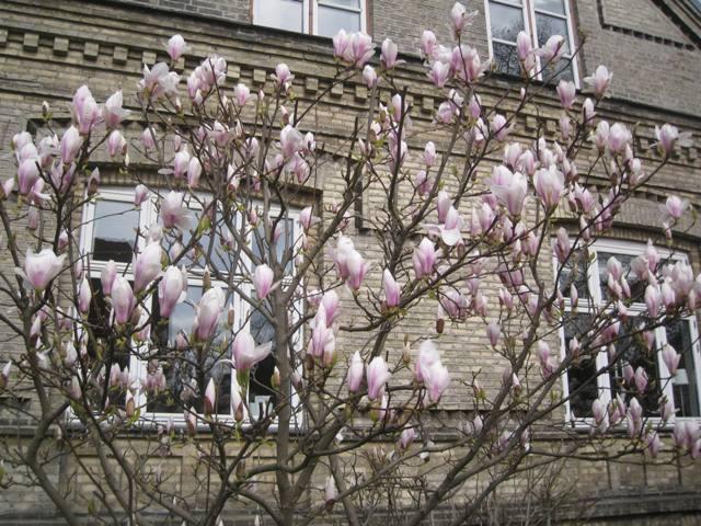 Tulipantræer
