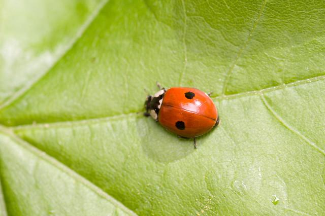 171: 2 Spot Ladybird