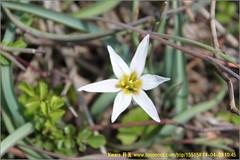 erythronium, flower, plant, wildflower, flora,