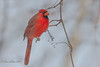 Cardinal Rouge, Northern Cardinal_0594