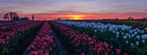 flowers oregon spring nikon tulips blossoms sunsets explore woodenshoe woodburn 2014 willamettevalley d7000