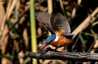 Kuifkopvisvanger, Malachite Kingfisher