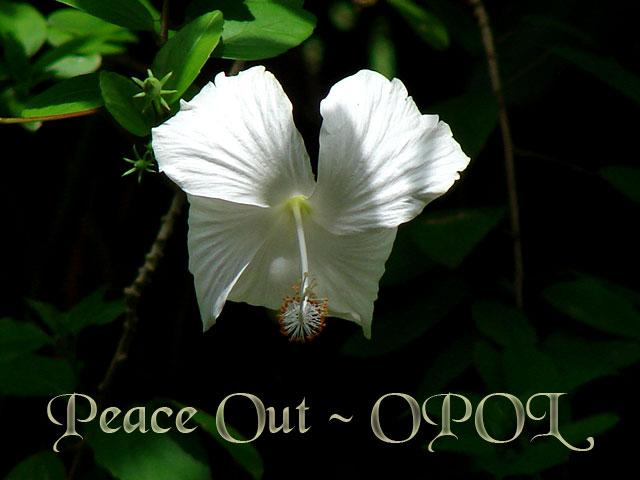 white-flower-OPOL