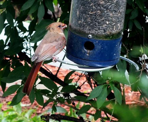 young cardinal