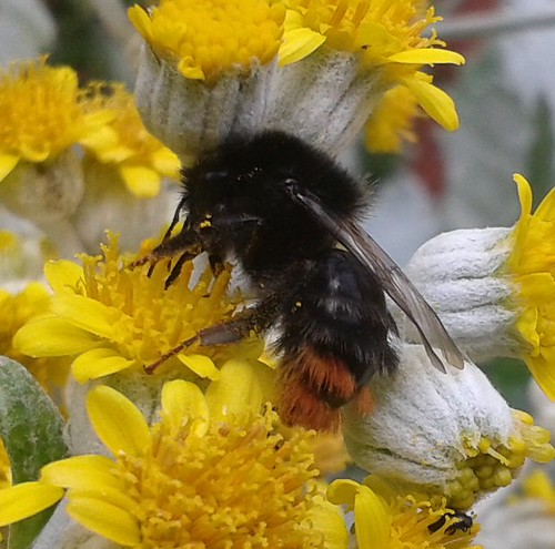 Red tailed Bumblebee on Cinneraria flowers