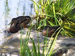 Memphis Zoo 08-31-2016 - Chinese Ducks 2
