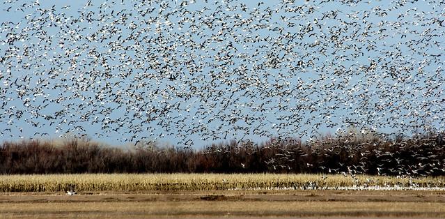 2017 02 10 abundant Snow Geese Ladd Gordon Wetlands RET_0838 cropped darkened